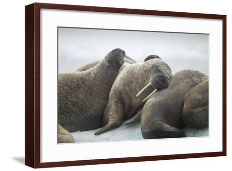 Walrus Herd on Iceberg, Hudson Bay, Nunavut, Canada-Paul Souders-Framed Art Print