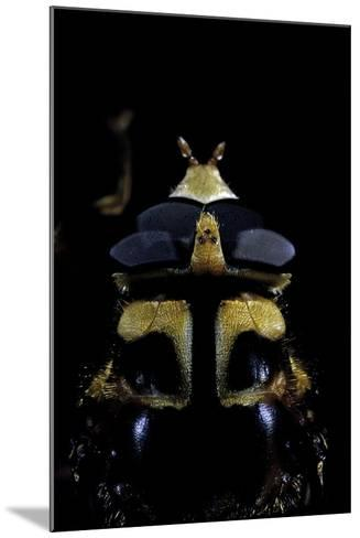 Milesia Crabroniformis (Hoverfly) - Portrait-Paul Starosta-Mounted Photographic Print