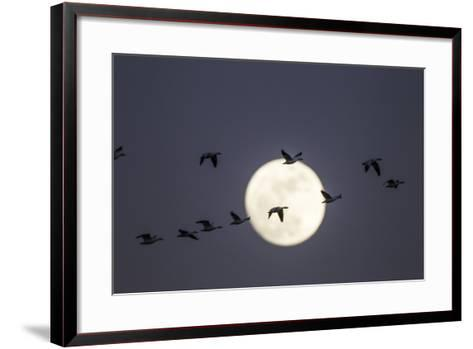Snow Geese and Full Moon, New Mexico-Paul Souders-Framed Art Print