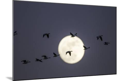 Snow Geese and Full Moon, New Mexico-Paul Souders-Mounted Photographic Print