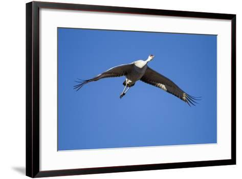Sandhill Cranes in Flight, Bosque Del Apache, New Mexico-Paul Souders-Framed Art Print