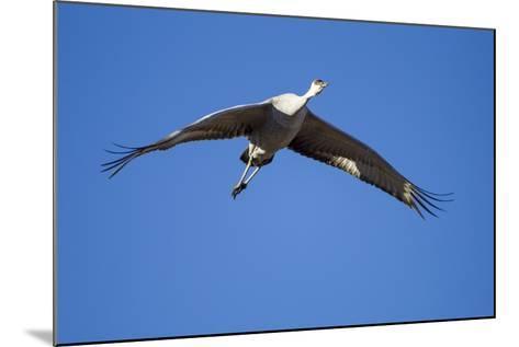 Sandhill Cranes in Flight, Bosque Del Apache, New Mexico-Paul Souders-Mounted Photographic Print