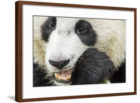 Giant Panda, Chengdu, China-Paul Souders-Framed Art Print