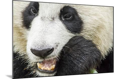 Giant Panda, Chengdu, China-Paul Souders-Mounted Photographic Print
