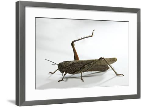 Anacridium Aegyptium (Egyptian Locust)-Paul Starosta-Framed Art Print