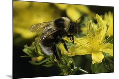 Bombus Hortorum (Small Garden Bumblebee)-Paul Starosta-Mounted Photographic Print