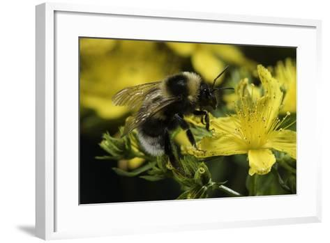 Bombus Hortorum (Small Garden Bumblebee)-Paul Starosta-Framed Art Print