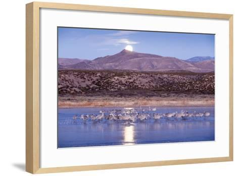 Sandhill Cranes and Full Moon, Bosque Del Apache, New Mexico-Paul Souders-Framed Art Print