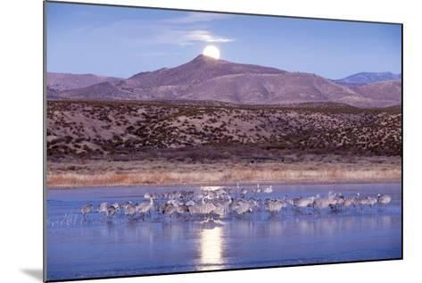 Sandhill Cranes and Full Moon, Bosque Del Apache, New Mexico-Paul Souders-Mounted Photographic Print