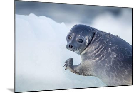 Ringed Seal Pup, Nunavut, Canada-Paul Souders-Mounted Photographic Print