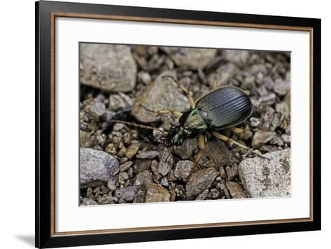 Chlaeniellus Vestitus (Ground Beetle)-Paul Starosta-Framed Art Print