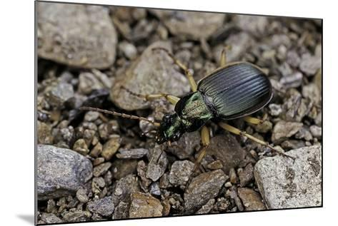Chlaeniellus Vestitus (Ground Beetle)-Paul Starosta-Mounted Photographic Print
