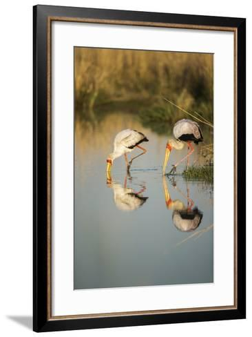 Yellow Billed Storks, Moremi Game Reserve, Botswana-Paul Souders-Framed Art Print