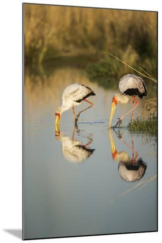 Yellow Billed Storks, Moremi Game Reserve, Botswana-Paul Souders-Mounted Photographic Print