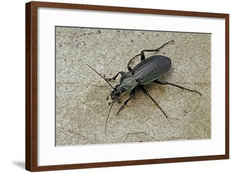 Carabus Morbillosus Cheminorum (Ground Beetle)-Paul Starosta-Framed Art Print