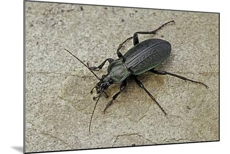 Carabus Morbillosus Cheminorum (Ground Beetle)-Paul Starosta-Mounted Photographic Print