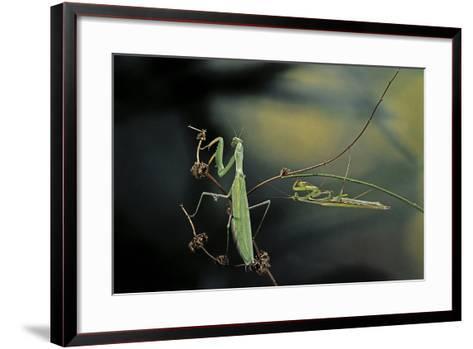 Mantis Religiosa (Praying Mantis) - Male with Female-Paul Starosta-Framed Art Print