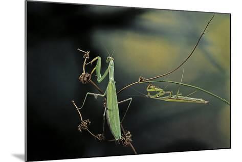 Mantis Religiosa (Praying Mantis) - Male with Female-Paul Starosta-Mounted Photographic Print