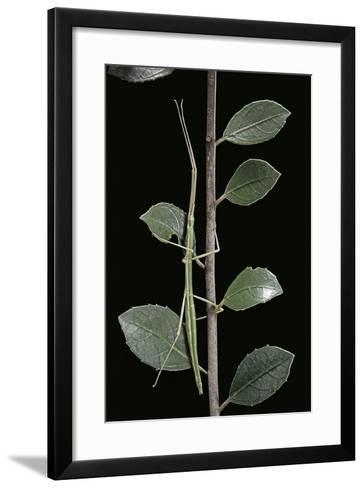 Leptynia Hispanica (Spanish Stick Insect)-Paul Starosta-Framed Art Print