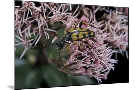 Leptura Maculata (Spotted Longhorn Beetle)-Paul Starosta-Mounted Photographic Print