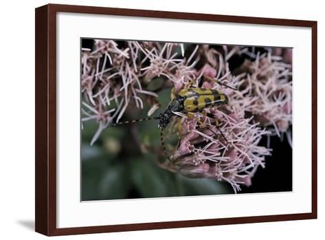 Leptura Maculata (Spotted Longhorn Beetle)-Paul Starosta-Framed Art Print