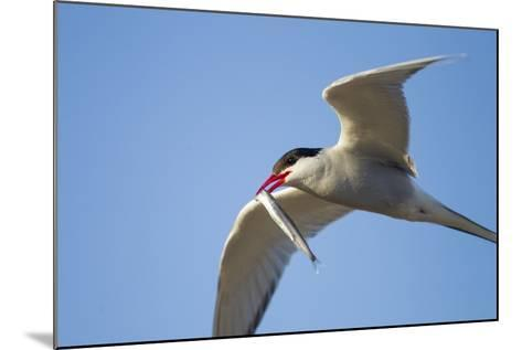Arctic Tern, Hudson Bay, Canada-Paul Souders-Mounted Photographic Print