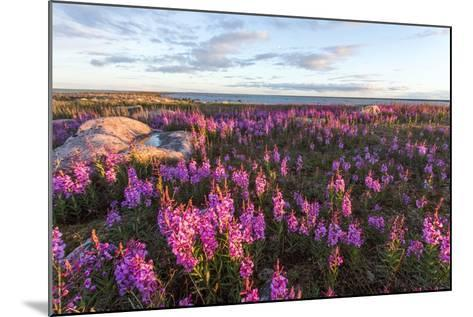 Fireweed, Hudson Bay, Canada-Paul Souders-Mounted Photographic Print