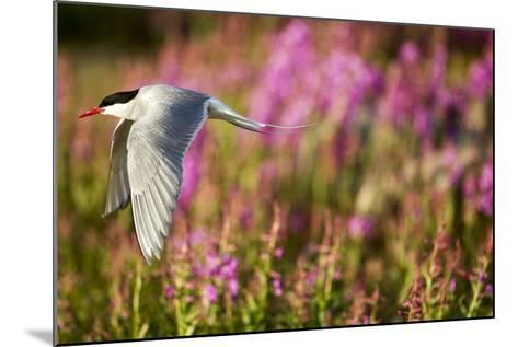 Arctic Tern in Flight, Hudson Bay, Canada-Paul Souders-Mounted Photographic Print