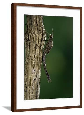 Calopteryx Virgo (Beautiful Demoiselle) - Emerging-Paul Starosta-Framed Art Print