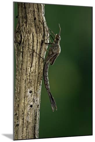 Calopteryx Virgo (Beautiful Demoiselle) - Emerging-Paul Starosta-Mounted Photographic Print