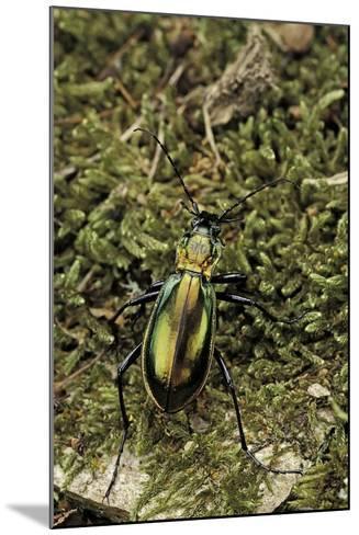 Carabus Splendens Lapurdanus (Ground Beetle)-Paul Starosta-Mounted Photographic Print