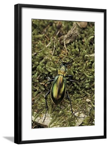 Carabus Splendens Lapurdanus (Ground Beetle)-Paul Starosta-Framed Art Print