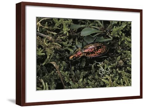Carabus Rutilans (Ground Beetle)-Paul Starosta-Framed Art Print