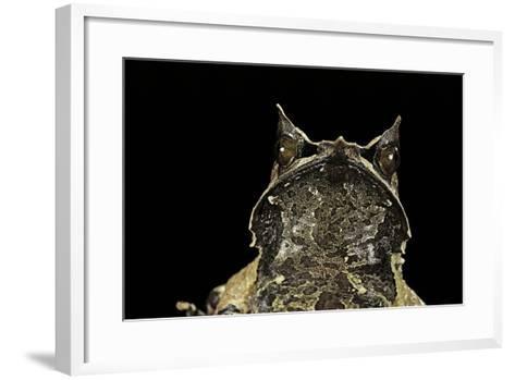Megophrys Nasuta (Malayan Horned Frog, Long-Nosed Horned Frog, Malayan Leaf Frog)-Paul Starosta-Framed Art Print