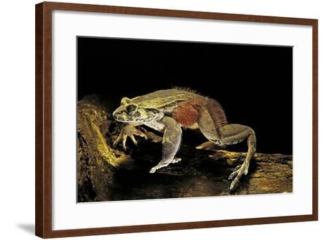 Trichobatrachus Robustus (Hairy Frog)-Paul Starosta-Framed Art Print