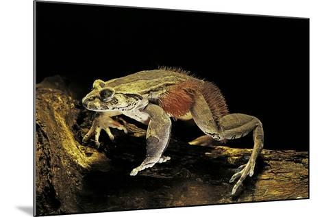 Trichobatrachus Robustus (Hairy Frog)-Paul Starosta-Mounted Photographic Print