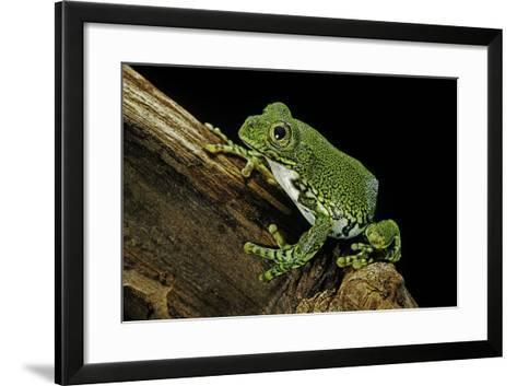 Leptopelis Vermiculatus (Amani Forest Treefrog, Big-Eyed Treefrog)-Paul Starosta-Framed Art Print