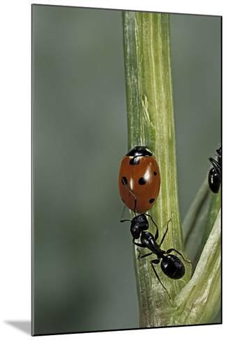 Coccinella Septempunctata (Sevenspotted Lady Beetle) - with Ant-Paul Starosta-Mounted Photographic Print