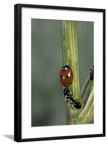 Coccinella Septempunctata (Sevenspotted Lady Beetle) - with Ant-Paul Starosta-Framed Art Print