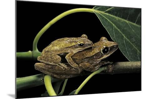 Polypedates Leucomystax (Common Tree Frog, Golden Gliding Frog) - Mating-Paul Starosta-Mounted Photographic Print