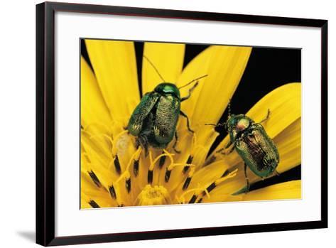 Cryptocephalus Hypochaeridis (Green Leaf Beetle)-Paul Starosta-Framed Art Print