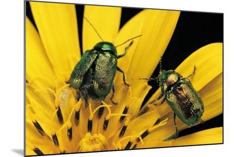 Cryptocephalus Hypochaeridis (Green Leaf Beetle)-Paul Starosta-Mounted Photographic Print