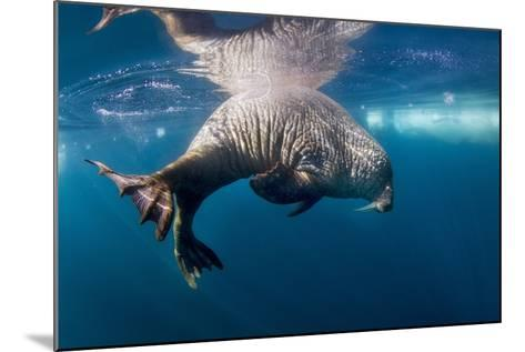 Underwater Walrus, Hudson Bay, Nunavut, Canada-Paul Souders-Mounted Photographic Print