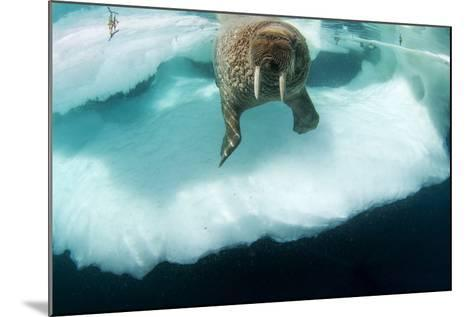 Underwater View of Walrus, Hudson Bay, Nunavut, Canada-Paul Souders-Mounted Photographic Print