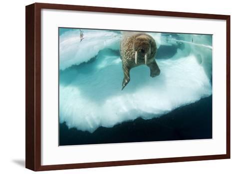 Underwater View of Walrus, Hudson Bay, Nunavut, Canada-Paul Souders-Framed Art Print