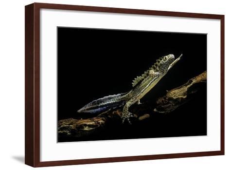 Ommatotriton Vittatus (Southern Banded Newt)-Paul Starosta-Framed Art Print