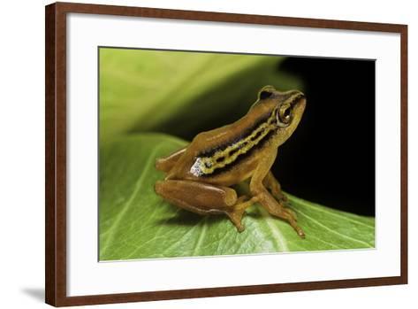 Hyperolius Puncticulatus (Spotted Reed Frog)-Paul Starosta-Framed Art Print