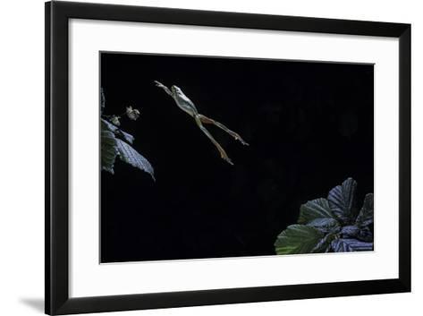 Hyla Meridionalis (Mediterranean Tree Frog) - Leaping-Paul Starosta-Framed Art Print