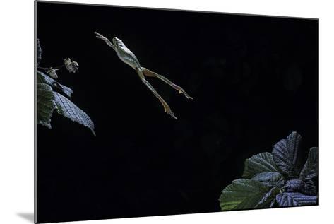 Hyla Meridionalis (Mediterranean Tree Frog) - Leaping-Paul Starosta-Mounted Photographic Print