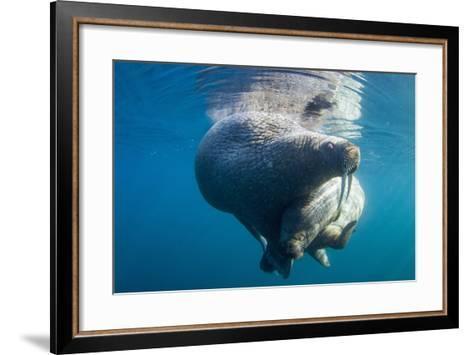 Underwater Walrus, Hudson Bay, Nunavut, Canada-Paul Souders-Framed Art Print
